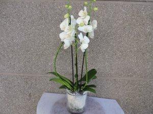 Orquidea Blanca de 2 varas
