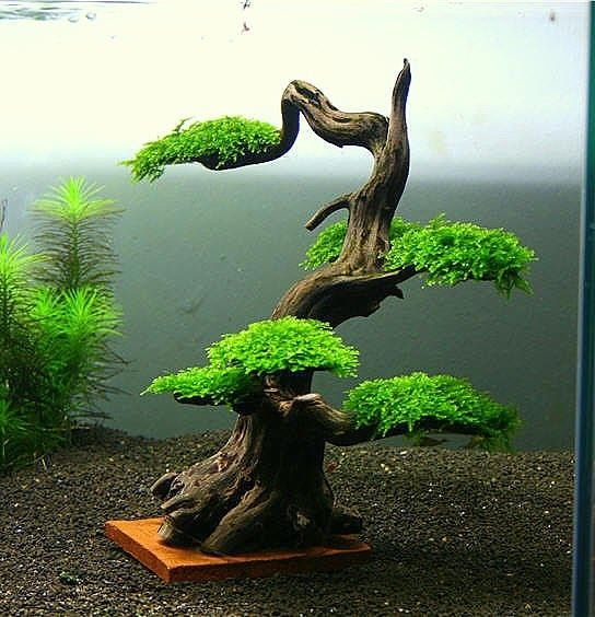 Image result for java moss tree