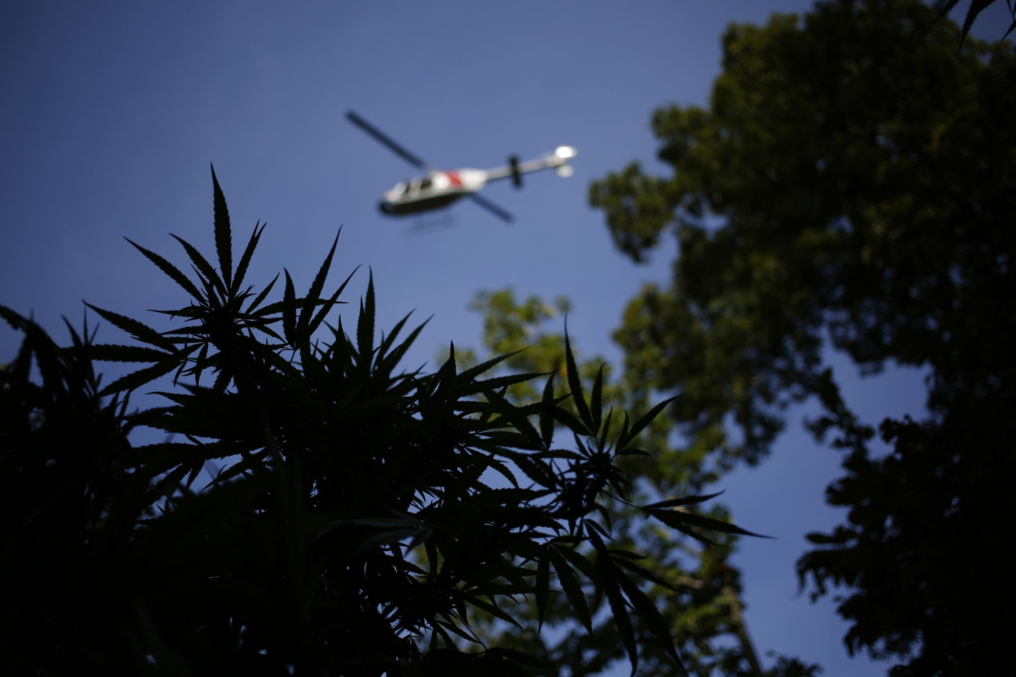 The Emerald Triangle's Brutal Pivot From Black Market to Legal