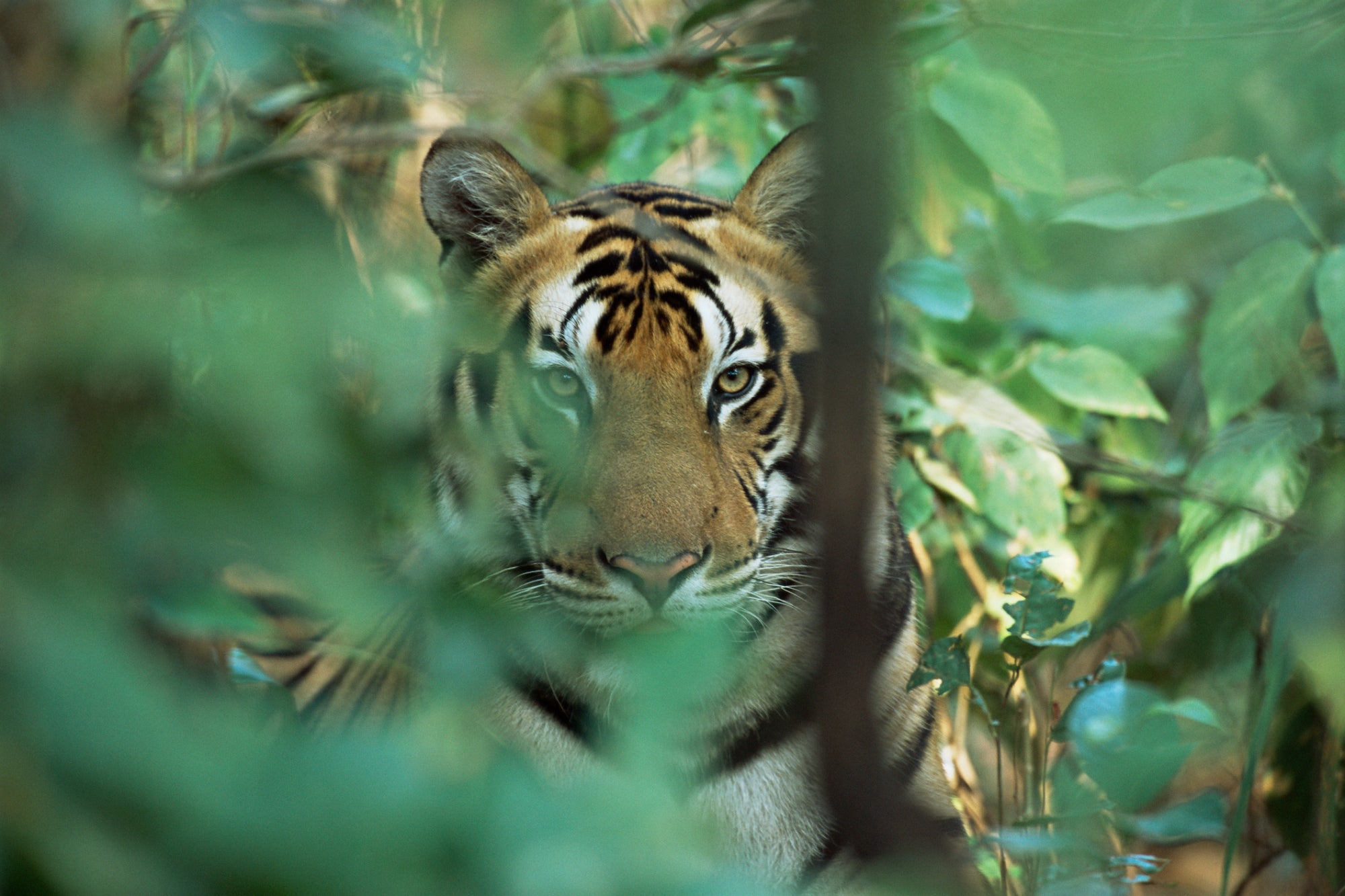 Are You Willing to Face the Tiger? How Entrepreneurs Continually Rise to the Challenge.