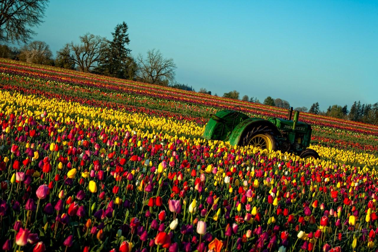Tulip Feild Tractor