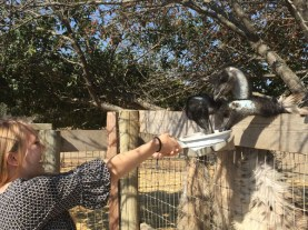 Feeding the Ostriches