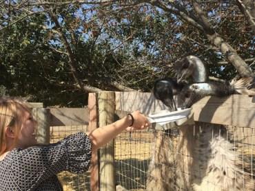 Feeding the Ostriches