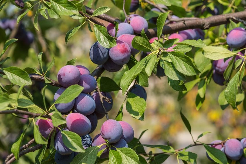 Close up of plums in a green plum tree