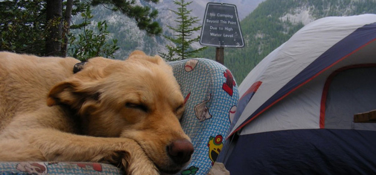 9 reasons camping with a dog is awesome, picture of a dog laying on a bed while camping with a tent in the background