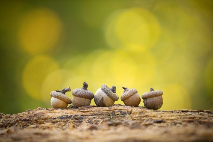 acorns on log