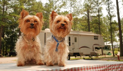 Two yorkies sitting on picnic table in campground. RV riding with you dogs concept.