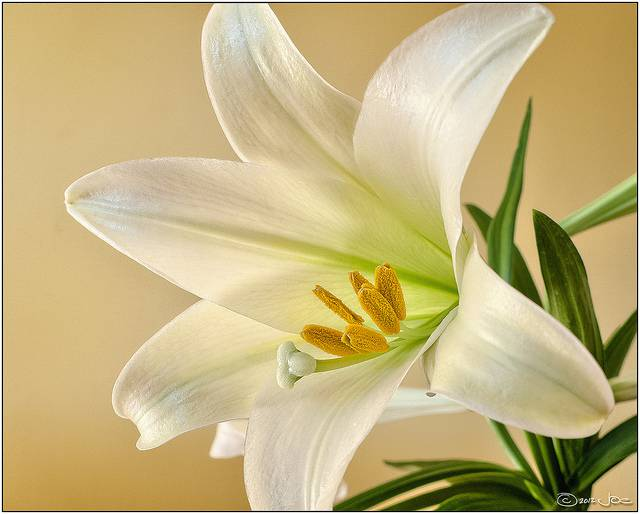 6 Popular Flowers for Easter   Avas Flowers Image via Flickr by Joe deSousa