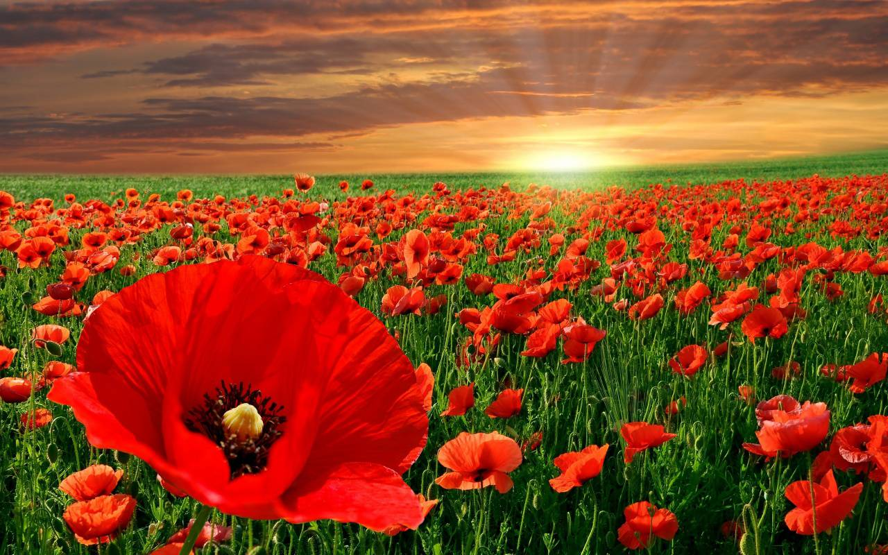 The Poppy Flower And It s Significance To Memorial Day   Avas Flowers The Poppy Flower And It s Significance To Memorial Day
