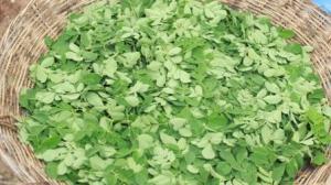 Fresh Green Organic Moringa Leaves