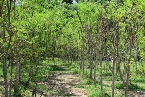 Organic Moringa Land Baca-Villa