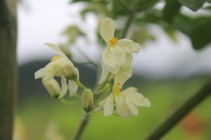 The Beautiful Moringa Flower