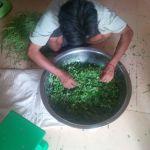 Cut-the-Moringa leaves