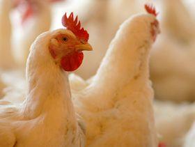 Poultry Moringa News