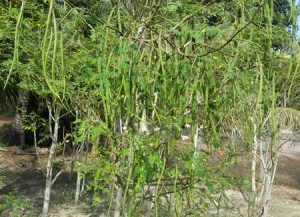 Moringa seeds reduce synthetic chemicals.