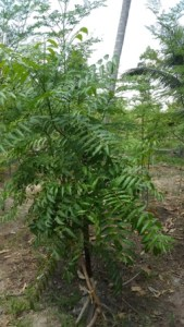 Neem protect Moringa leaves and Environment