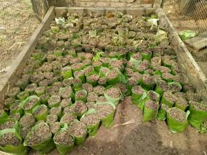 sloek-chaa-from-leaves-making-Moringa-Nursery-1