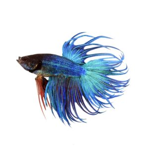 7 things i wish i knew before adopting a betta fish back to the