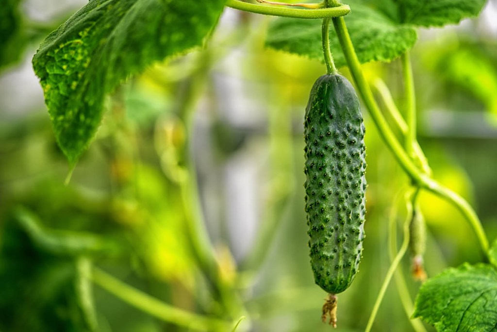 How to grow cucumbers: Closeup shot of a Persian cucumber