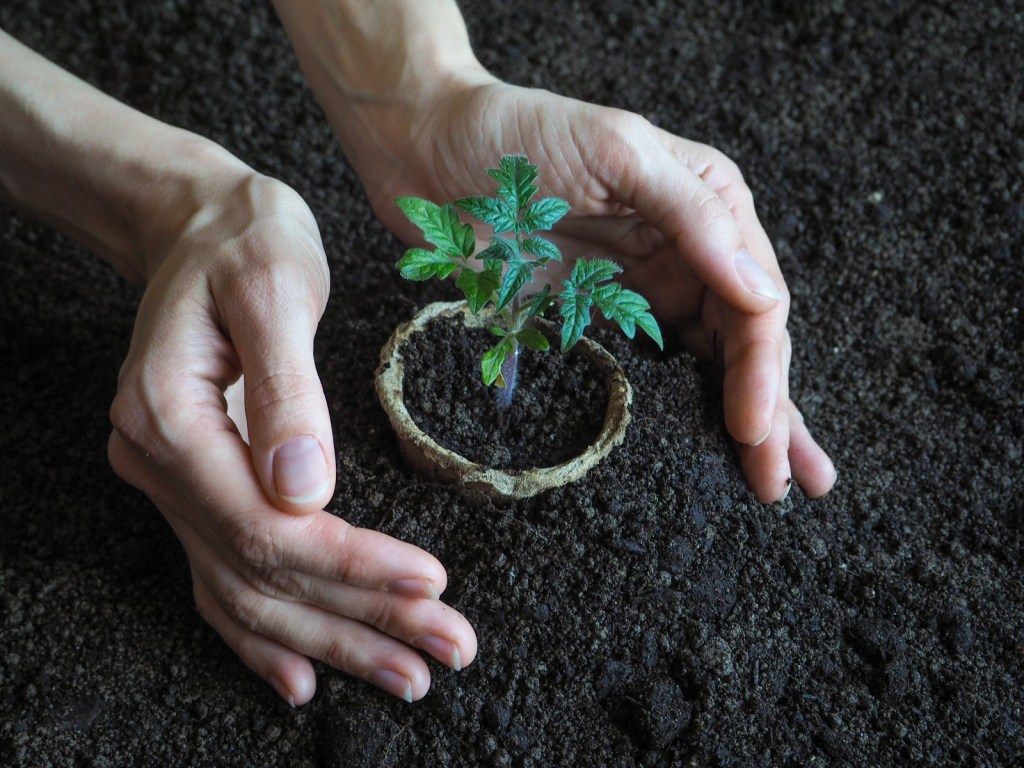 Growing tomatoes from seeds: Plant in soil