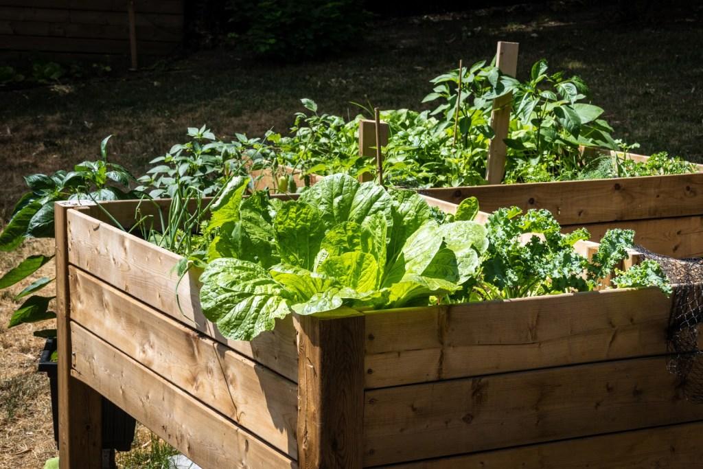 Raised vegetable garden: Cabbage in a raised garden bed