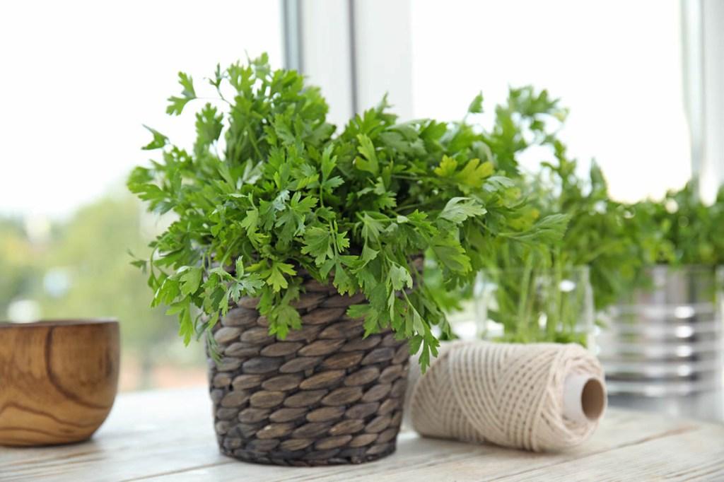 Wicker pot with fresh green parsley on window sill