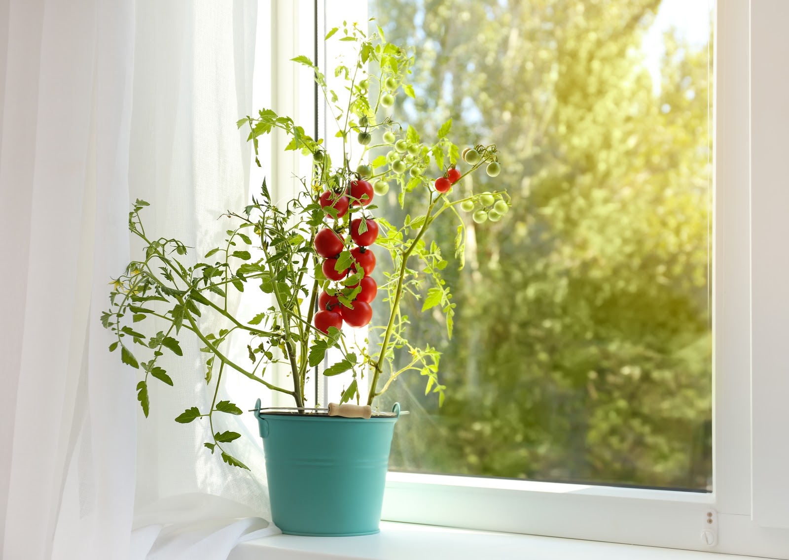 How to grow tomatoes in a pot: Tomato plant in bucket on window sill indoors.