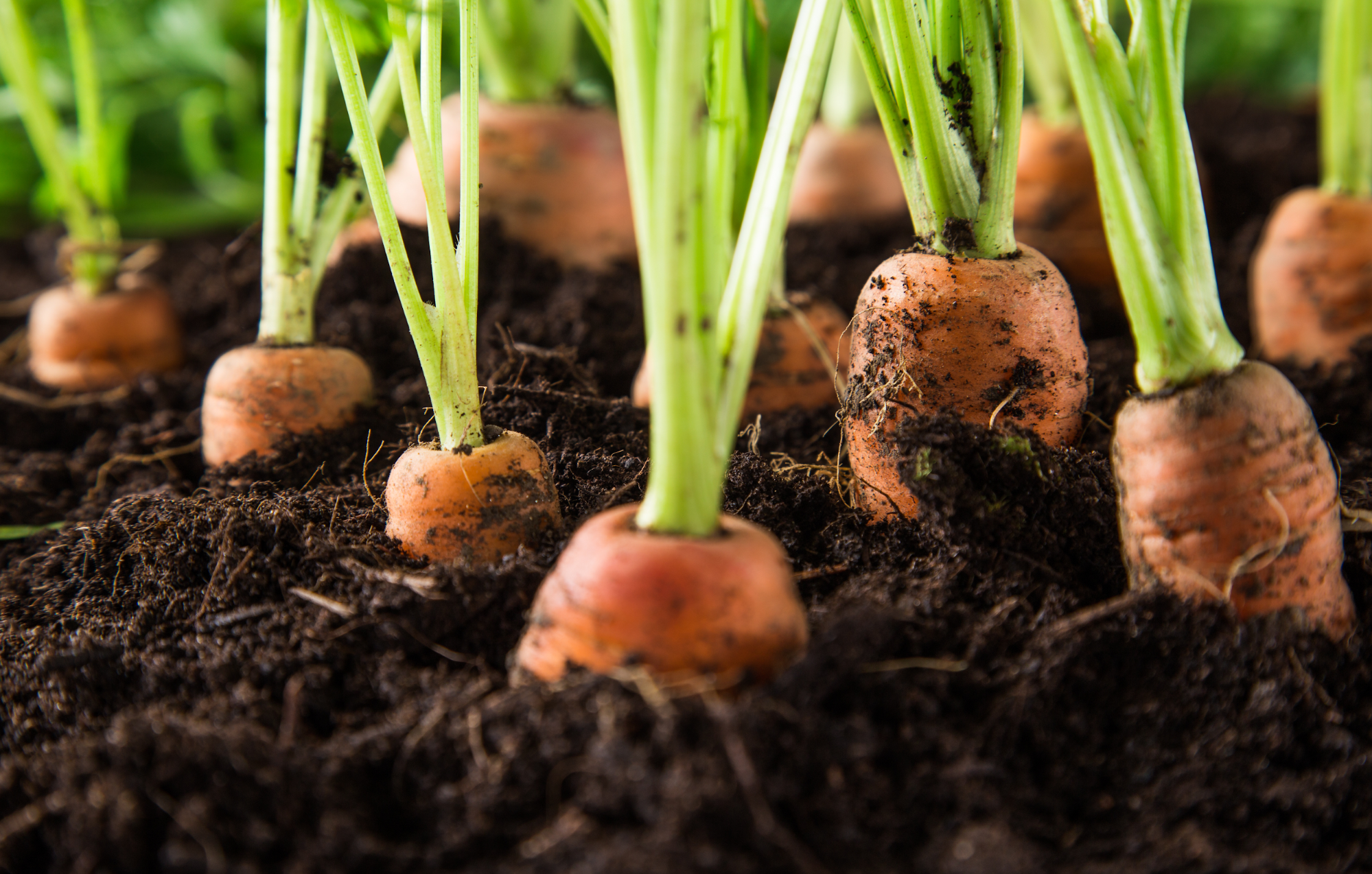 how to grow carrots: carrots in the soil