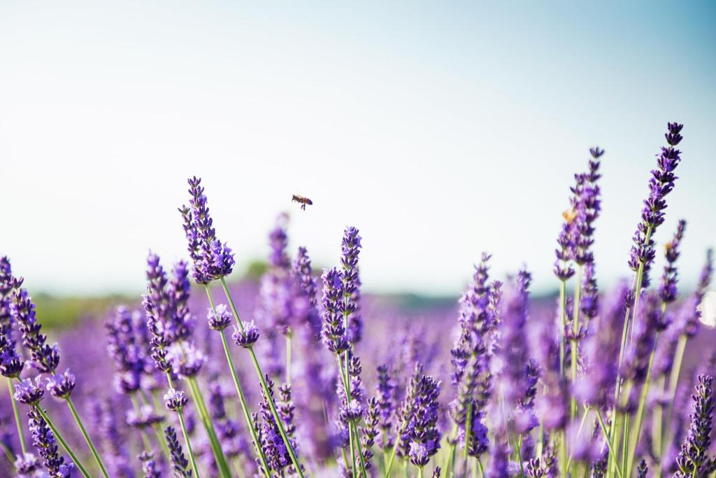 Lavender field with a bee flying over it
