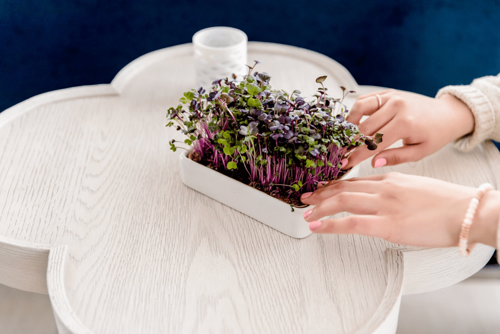 Microgreen seeds in a plant bed on the table