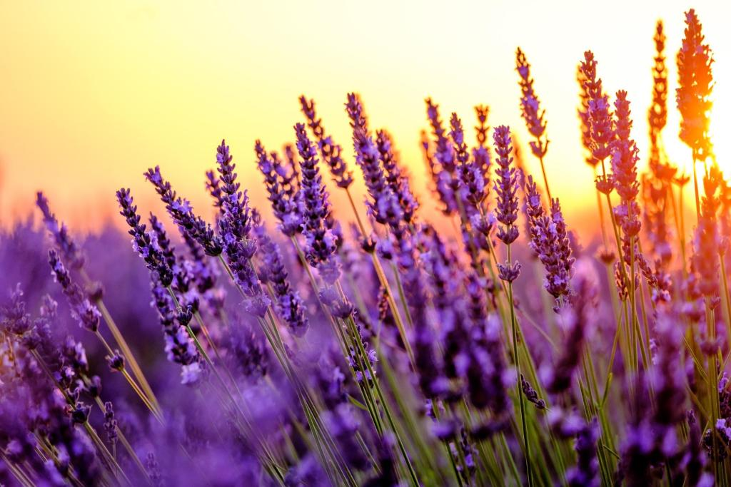 how to grow lavender: Blooming lavender in a field during sunset