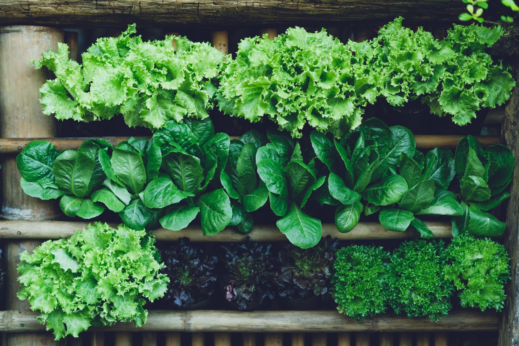 vegetables that grow in shade: Variety of green leafy vegetables