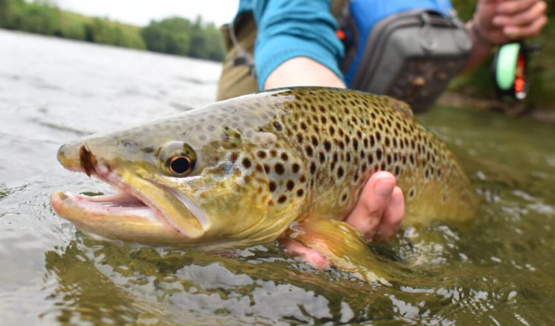 trout in the water