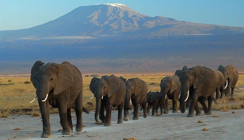 Elephants walking and a volcano at the background