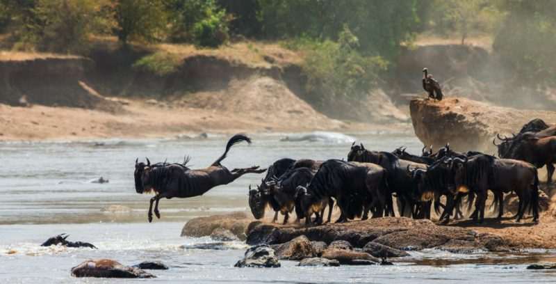 Wildebeest migrating in Kenya cross a river