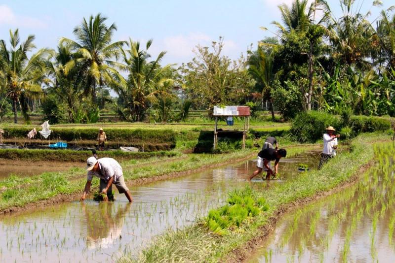 People working in rice fields