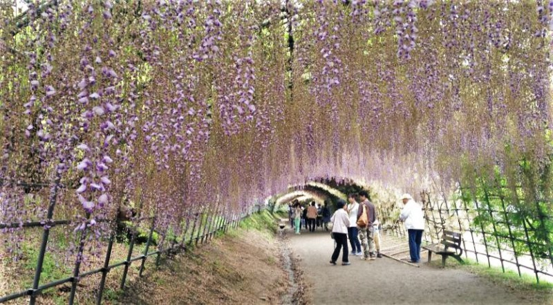 The magical Wisteria Tunnel located in Japan is apart of Japanese Mythology