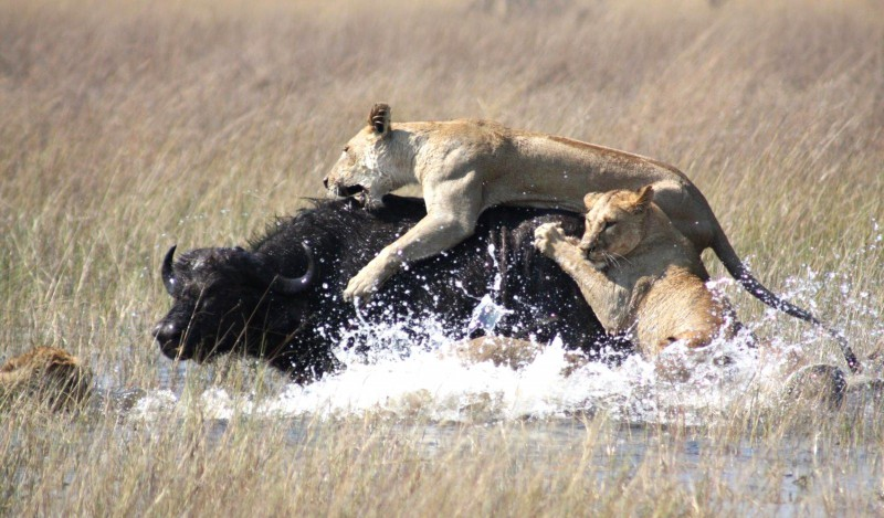 Lionesses tackling their prey- The Serengeti Migration