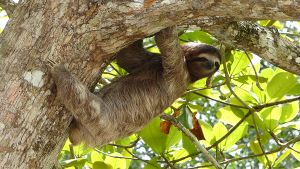 A three toed sloth in a tree