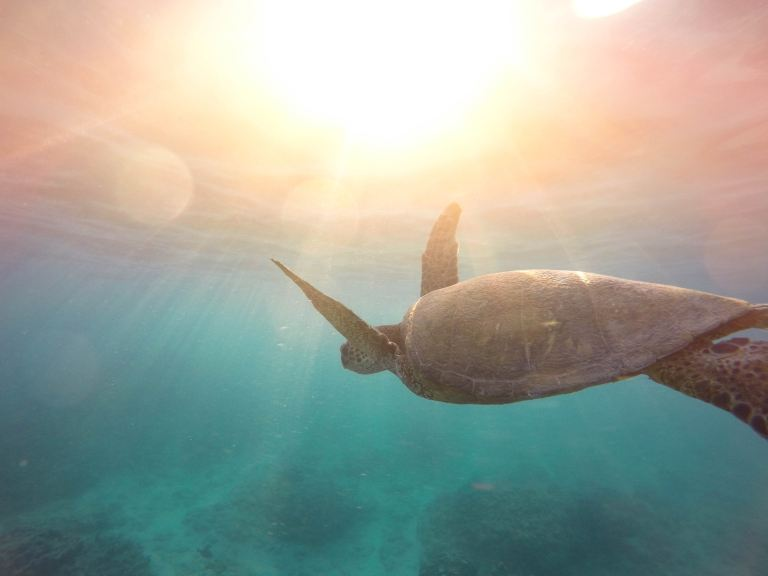 A sea turtle a stunning wild animal swimming in the ocean with the sun shinning through the water.