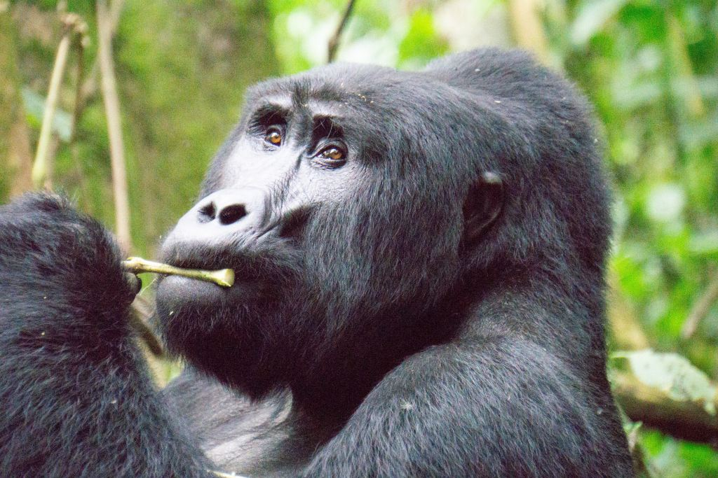 Mountain gorilla in Uganda's Impenetrable forest of of the top 10 rainforests in the world
