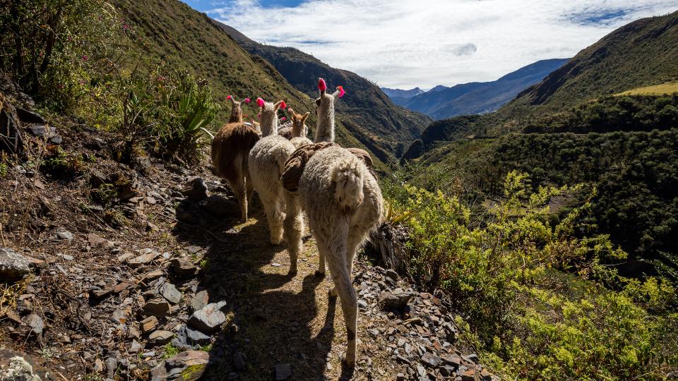 Lamas on Lares Trek