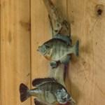 Sunfish or Bluegills