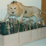 African Lion 5