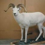 Dahl Sheep (Life Size)