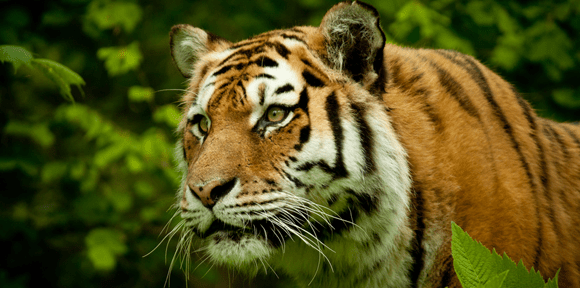 What Tigers Can Teach Us About Letter Reversals (BayTreeBlog.com)