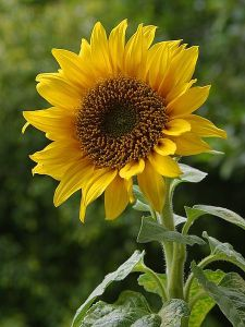 Sunflower (BayTreeBlog.com)