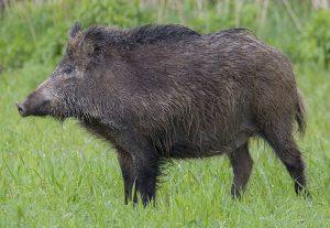 cinghiale european Boar