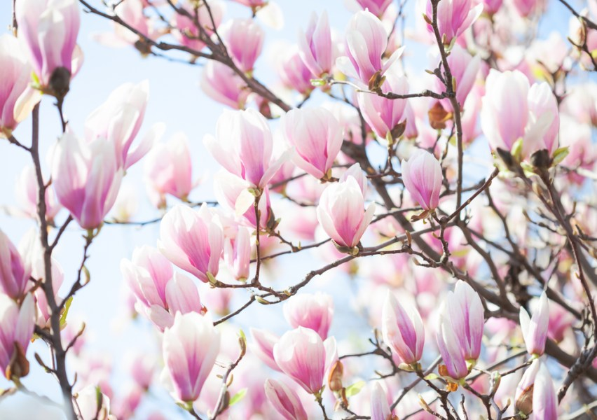 The Best Flowering Trees in the Spring in North Carolina   Point of Blue Brilliant magnolias  also known as saucer magnolias  tulip magnolias  or  Mulan trees