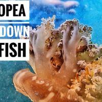 UPSIDE - DOWN JELLYFISH | CASSIOPEA